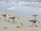 bécasseaux sur la plage