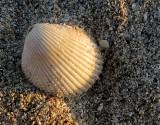 Coquillage de plage