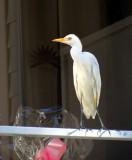 l'aigrette blanche sur un balcon