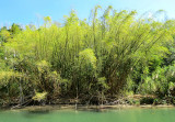 Le coin des bambous