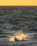 plongeon du pélican