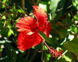 fleur rouge au pystil en trompe