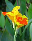fleur bicolore