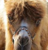 un chameau de trop près