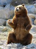 Grizzli posant pendant sa collation