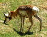 antilope broutante