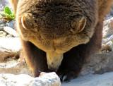 tête de grizzli