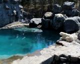 le bassin des ours blancs