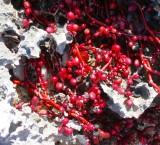 algues rouge