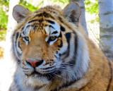 Tête du tigre de l'Amour
