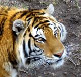 tigre sans soleil