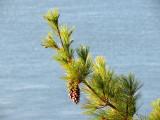 la branche de pin pendue sur le St-Laurent