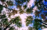 le faîte des arbres