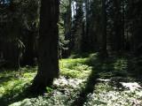 Conifers rule here