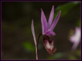 Wild Flower - Orchid - Lady's Slipper