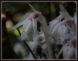 Indian-Pipe (Ghost Flower - Corpse Plant - Ice Plant)