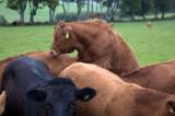 22nd June 2011  randy cow