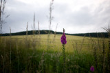 2nd August 2012  foxglove