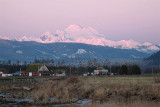 Mt. Baker looms over a swarm of Snow Geese at dusk