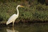 Great Egret ( Ardea alba)