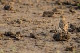 Greater short-toed lark (Calandrella brachydactyla brachydactyla)