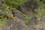 Rock Thrush (Monticola saxatilis)