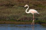 Flamingo  (Phoenicopterus roseus)