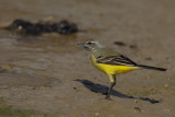 Yellow Wagtail (Motacilla - flava ?)
