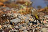 Yellow Wagtail (Motacilla- ?)