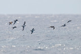 Gallery Petrels and Shearwaters