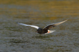 White-winged Black Tern (Chlidonias leucopterus)