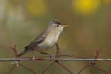 Olivaceous Warbler  - Hippolais pallida