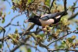 Rose-coloured Starling (Sturnus roseus)