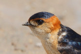 Red-rumped Swallow (Cecropis daurica rufula)