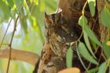 European Scops Owl (Otus scops)