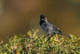 Rüppell's Warbler (Sylvia rueppelli)