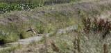 Kuifkoekoek / Great Spotted Cuckoo / Clamator glandarius