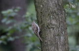 Kortsnavelnboomkruiper / Eurasian Treecreeper / Certhia familiaris macrodactyla