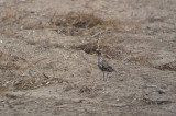 Amerikaanse Goudplevier / American Golden Plover / Pluvialis dominica