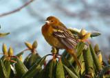 Zeldzame vogels in Nederland