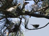 Bergfluiter / Western Bonelli's Warbler / Phylloscopus bonelli