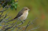 Daurische Klauwier / Daurian Shrike / Lanius isabellinus