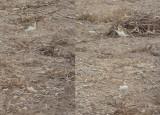 Kaspische Plevier / Caspian Plover / Charadrius asiaticus