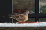 Oosterse Tortel / Oriental Turtle Dove / Streptopelia orientalis