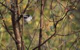 Witkopstaartmees / Northern Long-tailed Tit / Aegithalos caudatus caudatus