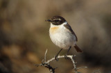 Canarische Roodborsttapuit / Canary Islands Stonechat / Saxicola dacotiae