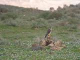 Slechtvalk / Peregrine / Falco peregrinus