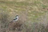 Zuidelijke Klapekster / Southern Grey Shrike / Lanius excubitor meridionalis koenigi
