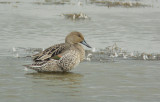 Pijlstaart / Northern Pintail / Anas acuta