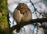 Dwerguil / Pygmy Owl / Glaucidium passerinum